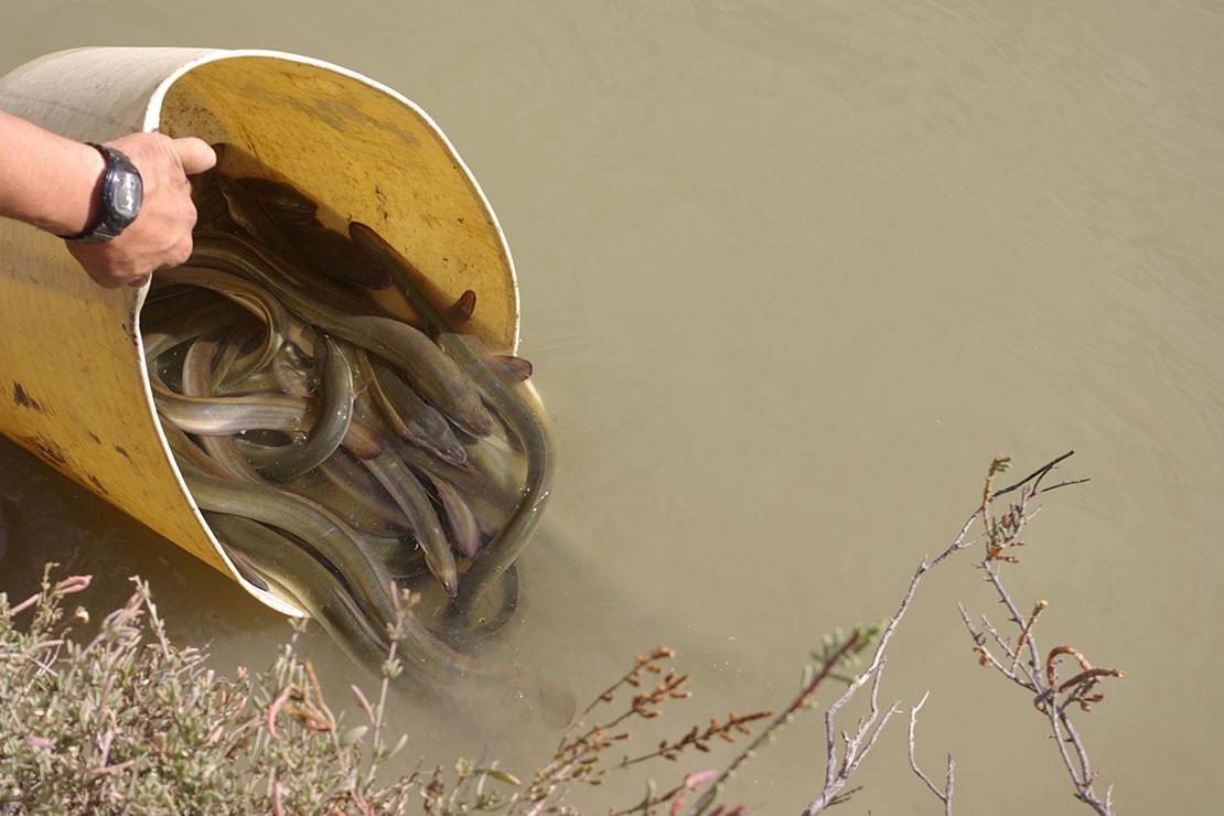 Persona liberando anguilas europeas en el rio